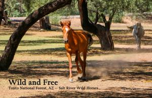 Salt River Wild Horses in Arizona